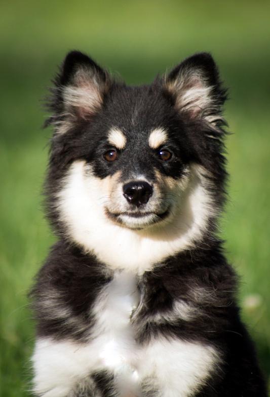 Finnischer Lapphund Ivy ganz jung