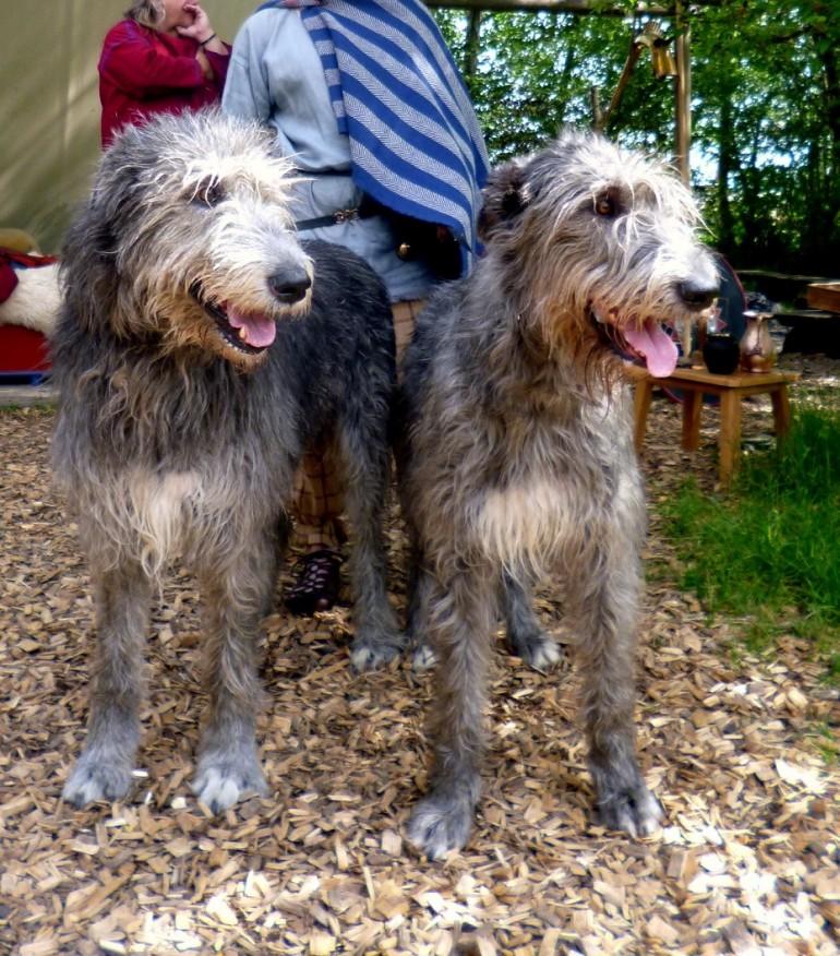 Irish Wolfhound – ein Schoßhund für die ganze Familie