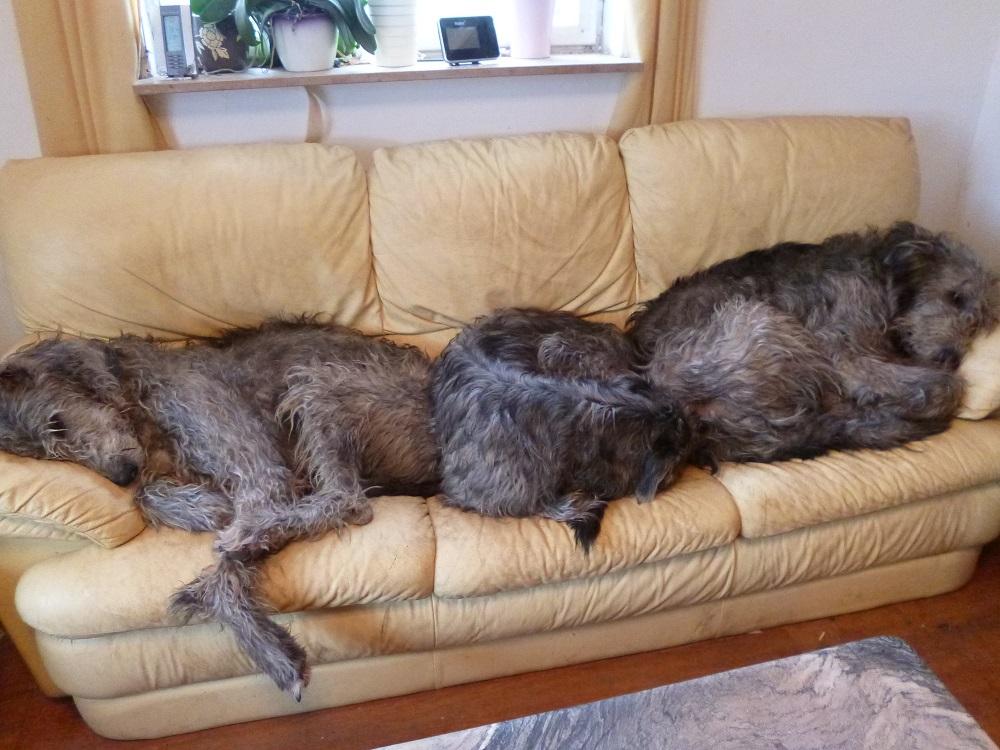 Irish Wolfshound - müde wölfe auf der couch