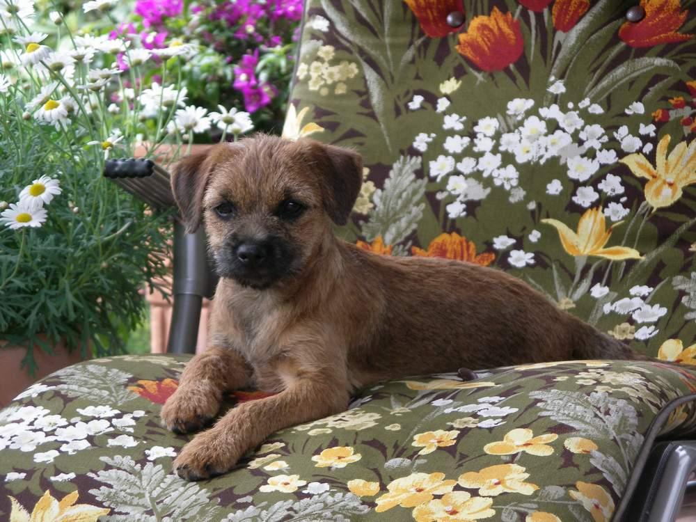 Border-Terrier von Warnberg auf der Liege (1)