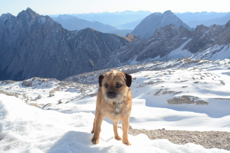 Border-Terrier von Warnberg am Berg im Schnee (16)