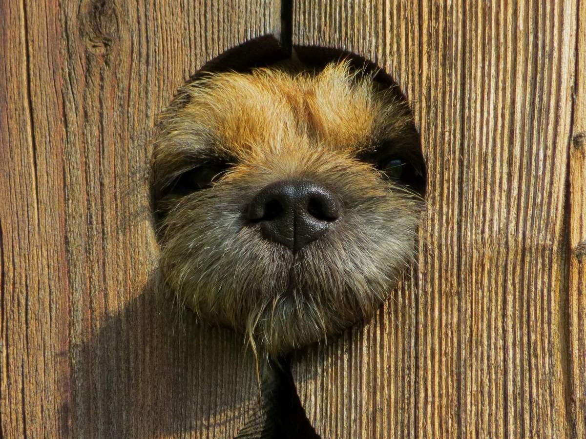 Border-Terrier von Warnberg (18) guckt durch die Tür