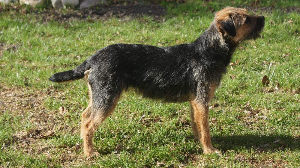Border-Terrier von Warnberg auf der Wiese (7)