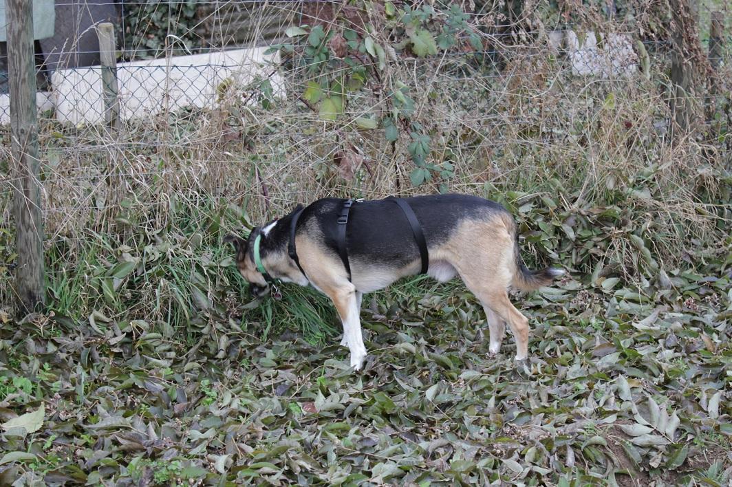 Telmo 2 Der zweite Besuch auf der Hundewiese, Telmo wir mutiger.
