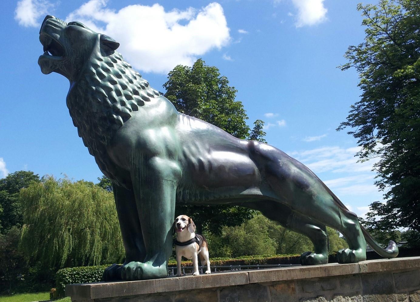beagle peppi neben grossen löwen