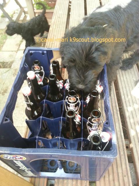Riesenschnauzer hütet das Bier