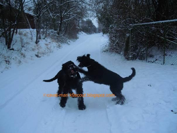zwei Riesenschnauzer im Schnee