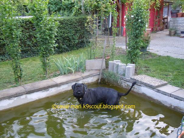Riesenschnauzer im Gartenteich