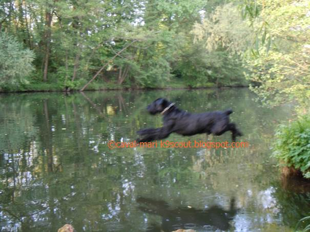 Riesenschnauzer springt in den Fluss