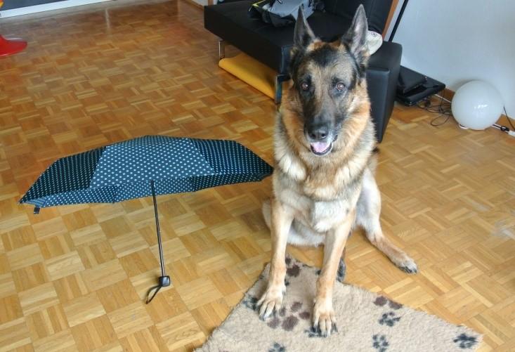 schäferhund nico mit Regenschirm