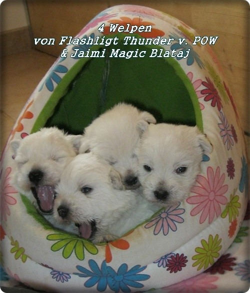 4 West Highland White Terrier Welpen