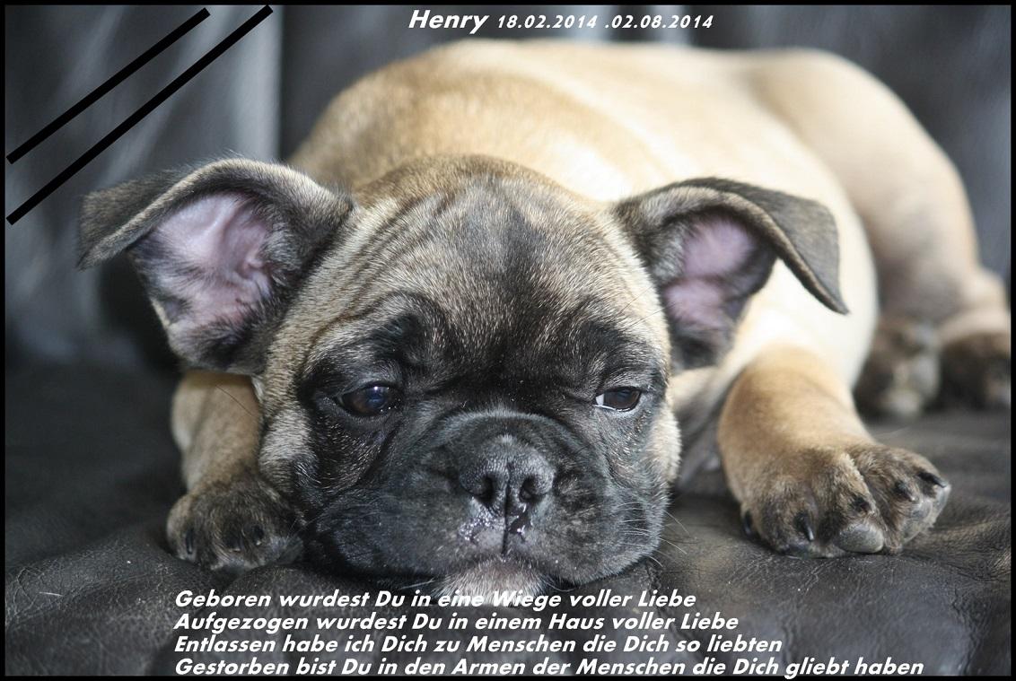 Tod von Henry, einer Französischen Bulldogge