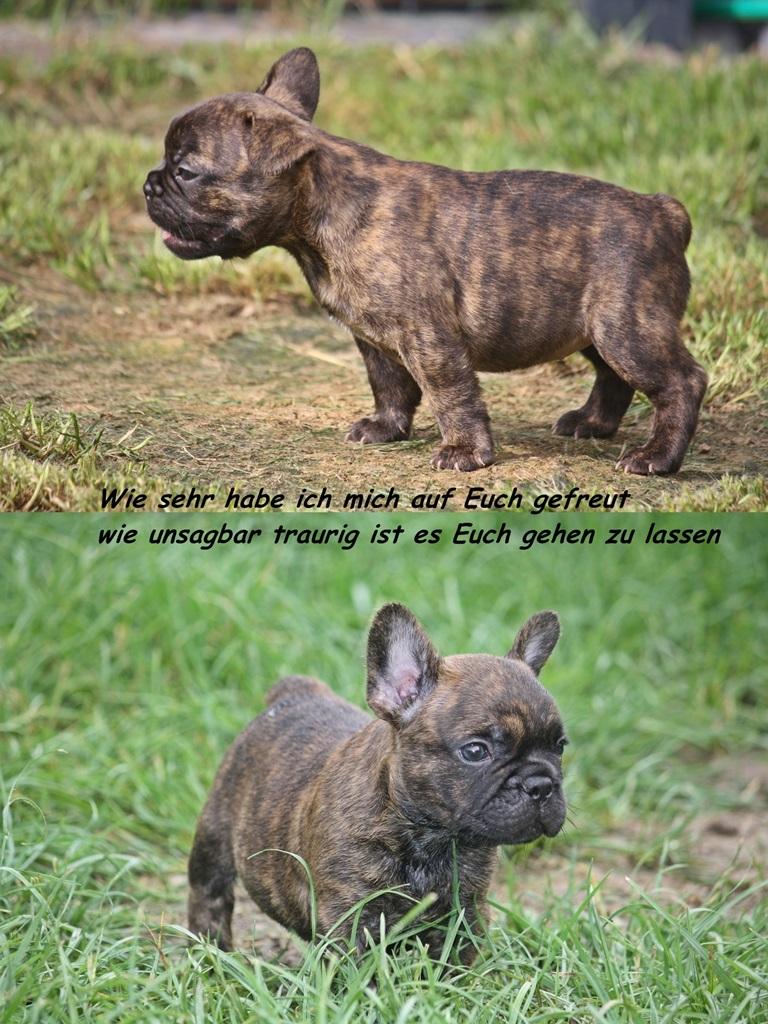 Tod von zwei Französischen Bulldoggen Welpen aufgrund von Parvovirose