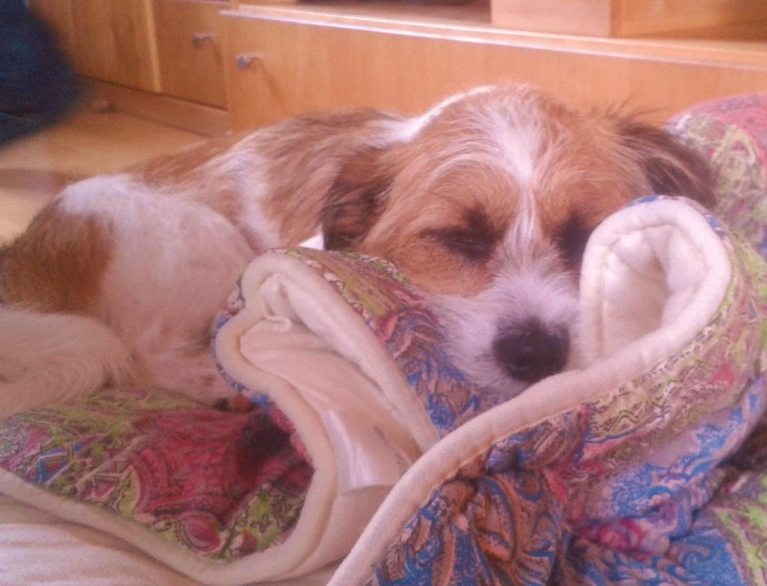 Hund Charly im Bett