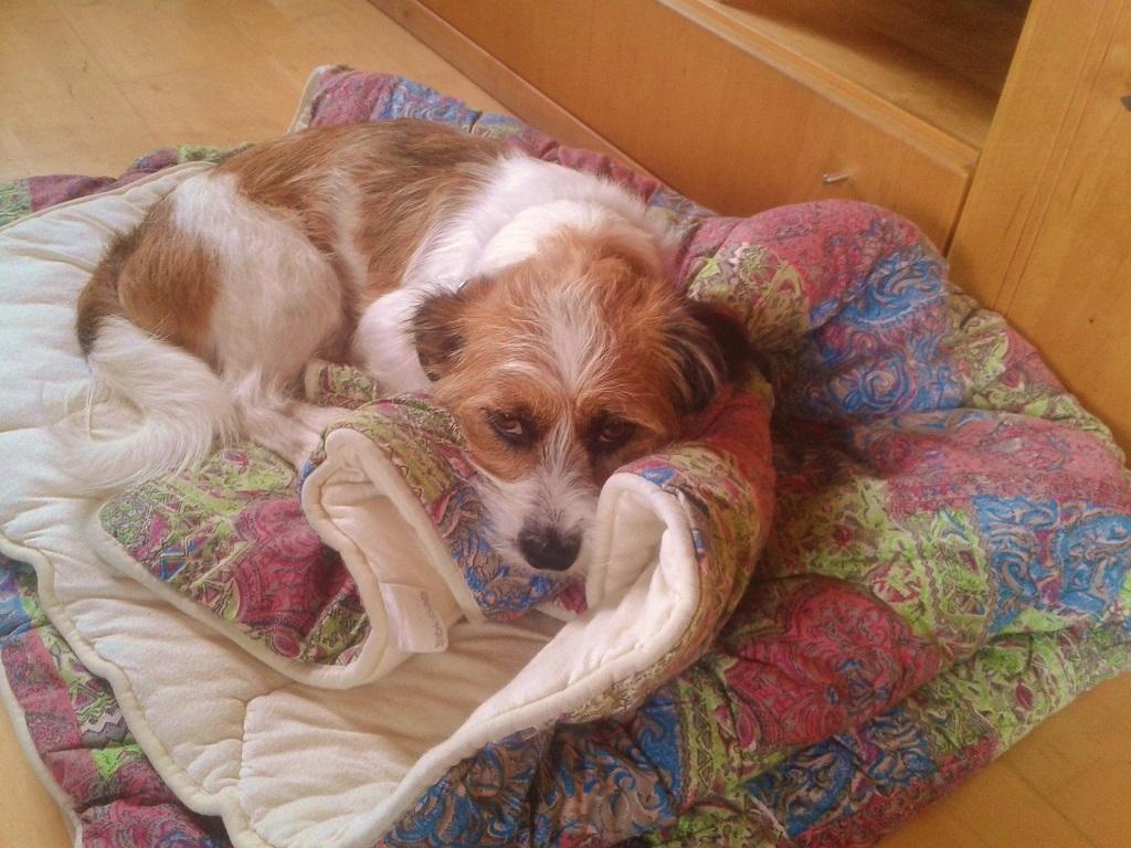 Hund Charly wimmert im Bett