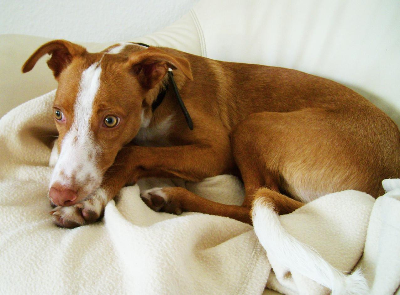 Hund Cody auf der Couch