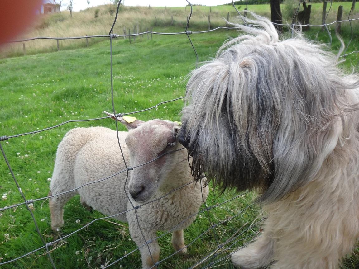 Cao da Serra de Aires mit Schaf