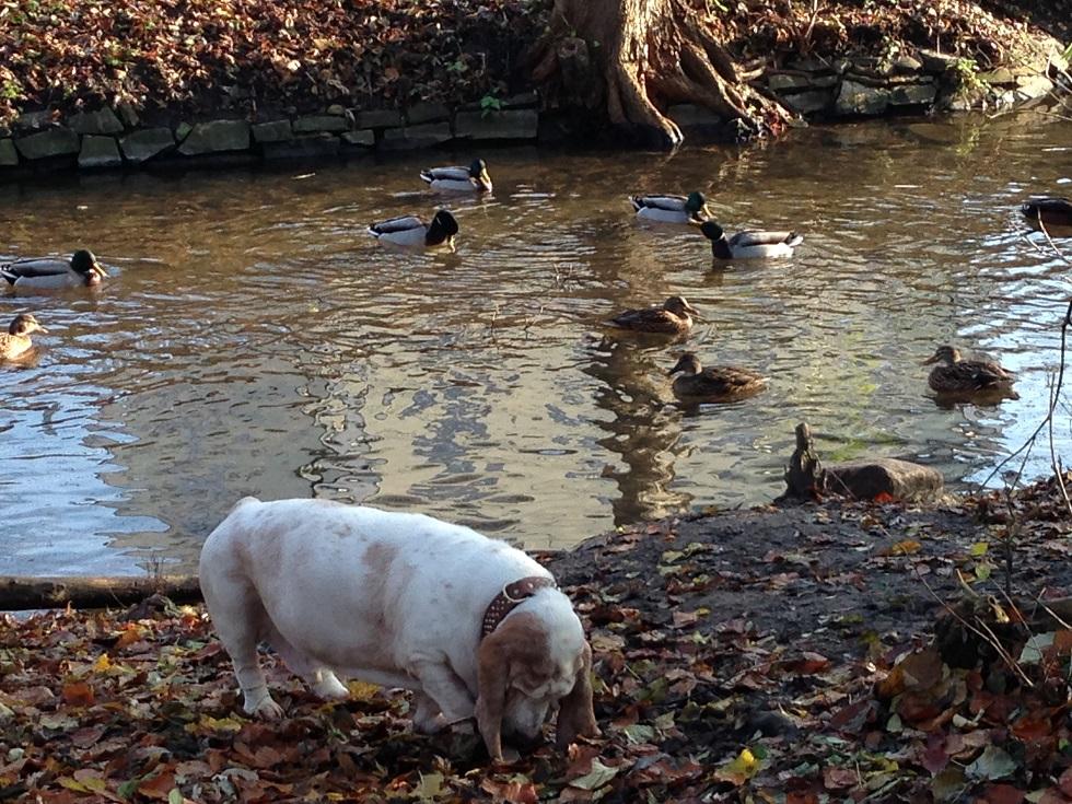 Hund Basset am Teich