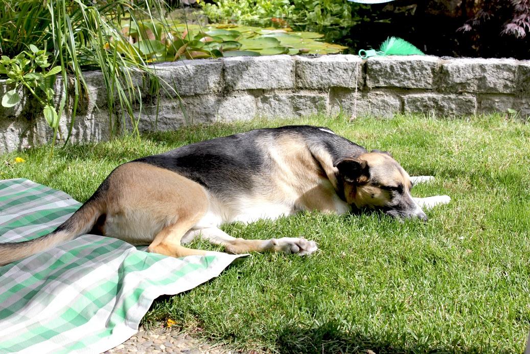Vor der Fahrt bei uns im Garten, Telmo träumt