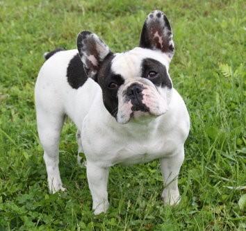 französische bulldogge gescheckt