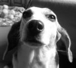 hund peppi schaut ganz lieb in die kamera