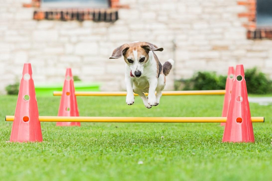 beagle hündin peppi beim sport