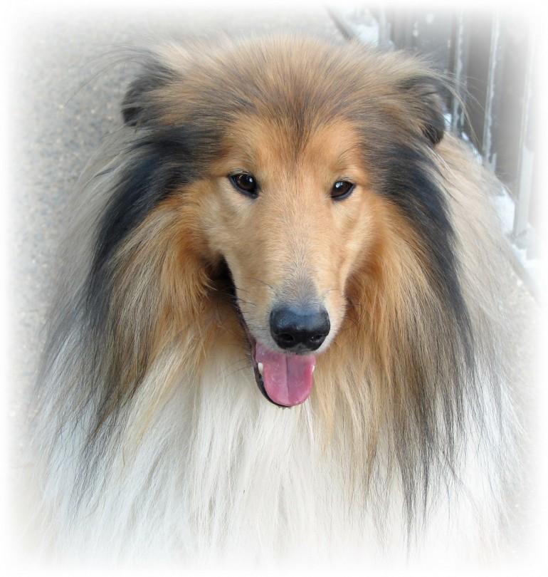 Der Lassie-Effekt: Wie Filme den Hundewunsch beeinflussen