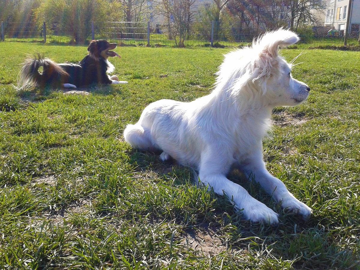 zwei Hunde auf der Wiese