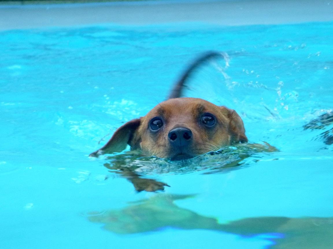 Hund schwimmt im Pool