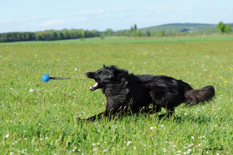 Belgischer Schäferhund jagd Ball auf Wiese nach