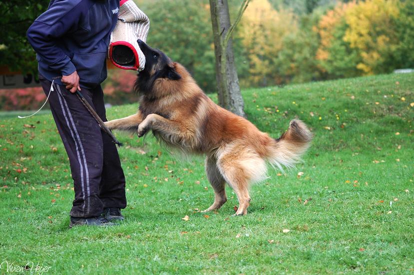 Belgischer Schäferhund beisst zu