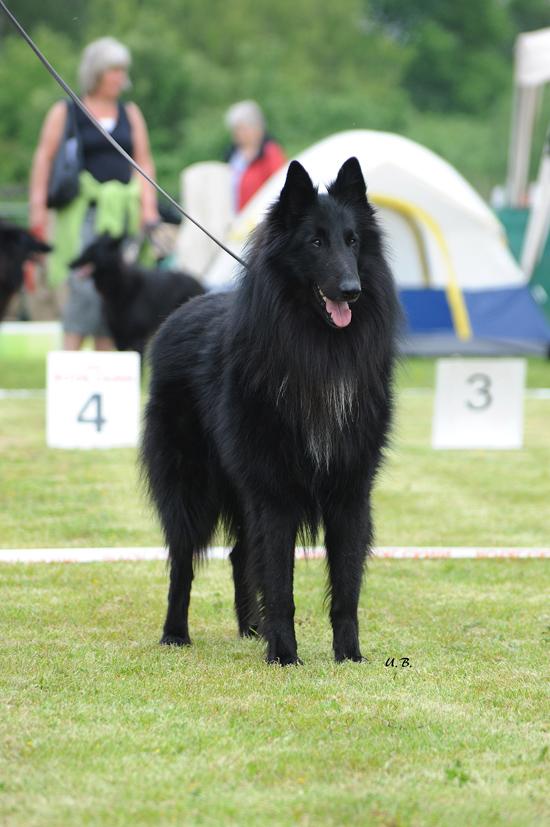 Groenendael Hund beim Turnier