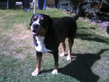 Der Große Schweizer Sennenhund