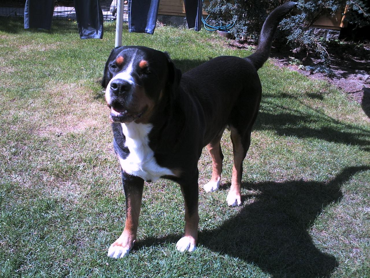 Große Schweizer Sennenhund