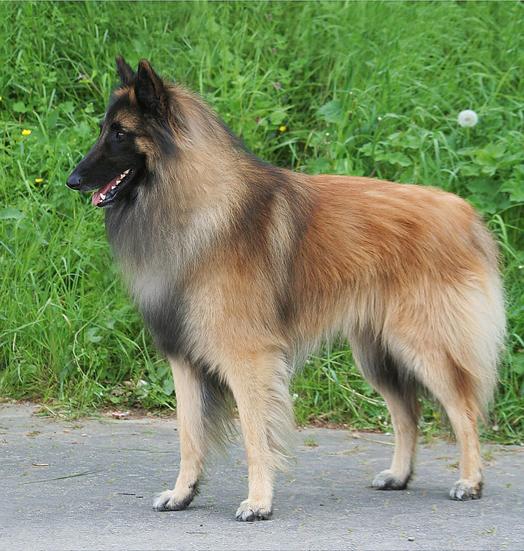 Belgischer Schäferhund Tervueren