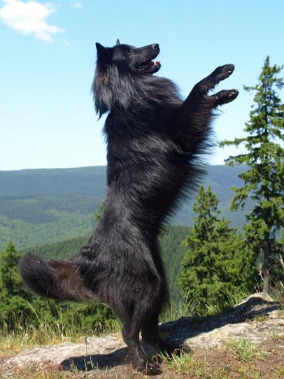 Belgischer Schäferhund steht auf den Hinterbeinen