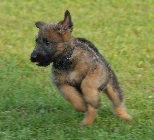 Belgischer Schäferhund laekenois-Welpen