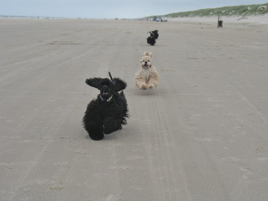 Hundewettrennen am Strand