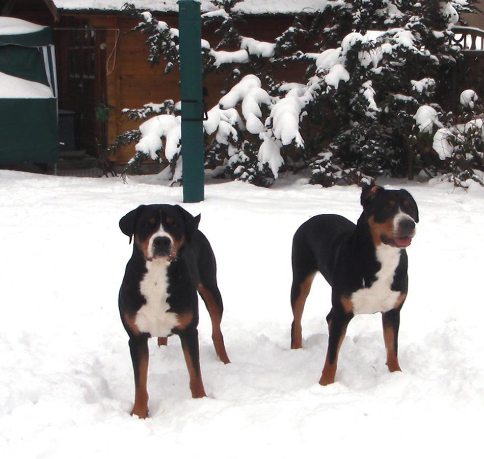 zwei Große Schweizer Sennenhunde Nucki & Feliz