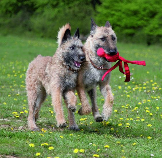 zwei Belgische Schäferhunde springen durch das Gras quint