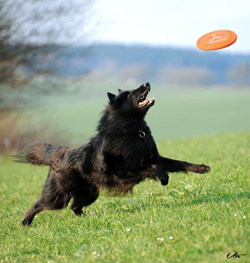 Belgischer Schäferhund sprint nach Frisbee