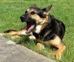 Schäferhund Rex gähnt auf dem Rasen