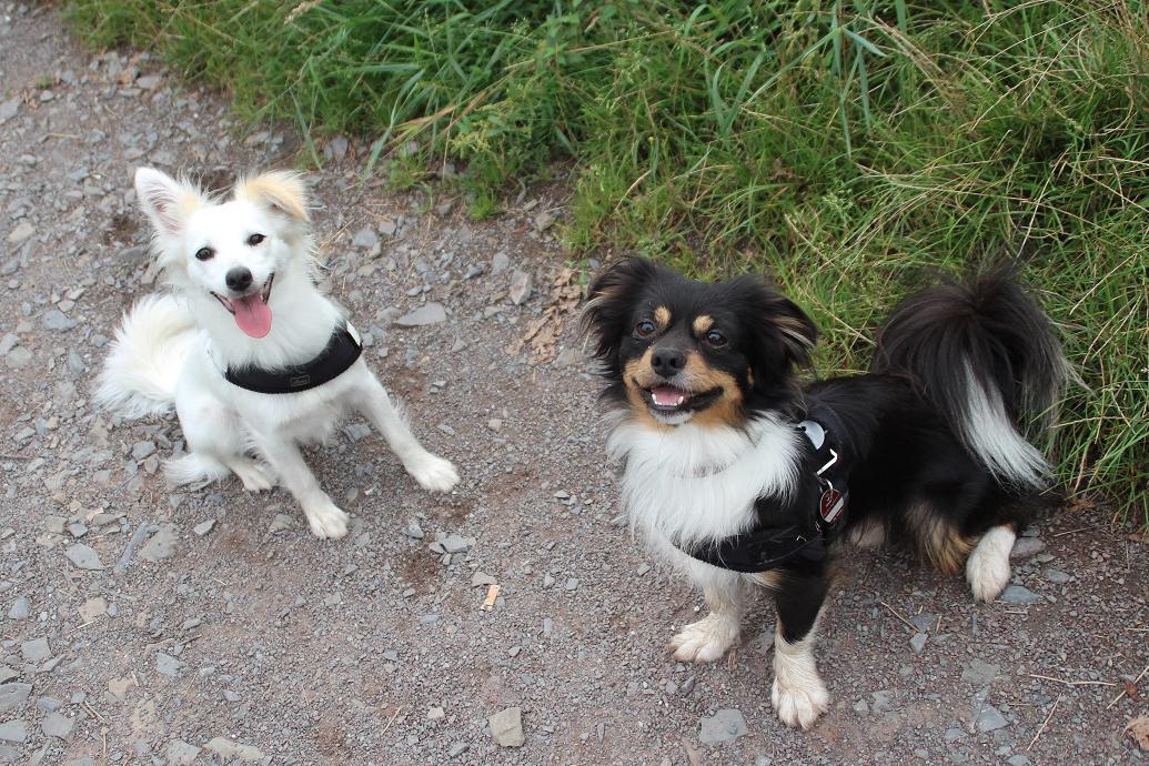 Kokoni Hund mit Freund auf Strasse
