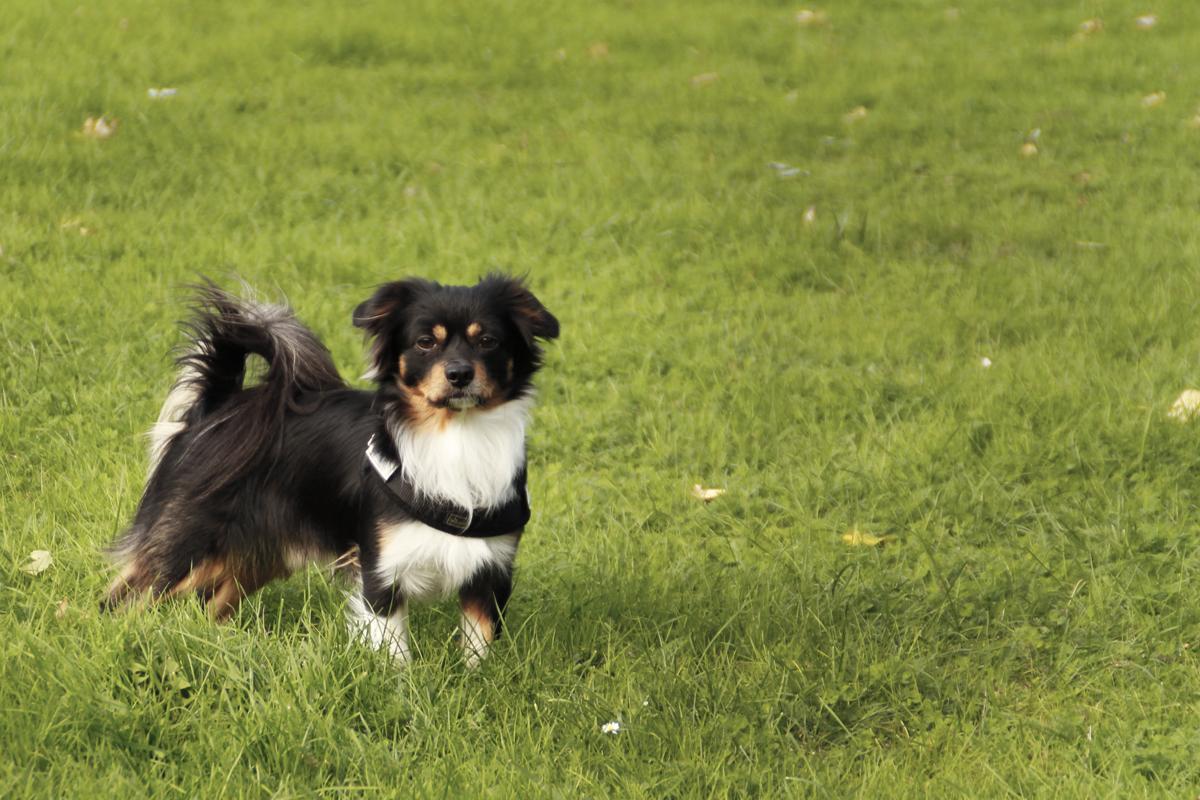 Kokoni Hund auf Rasen