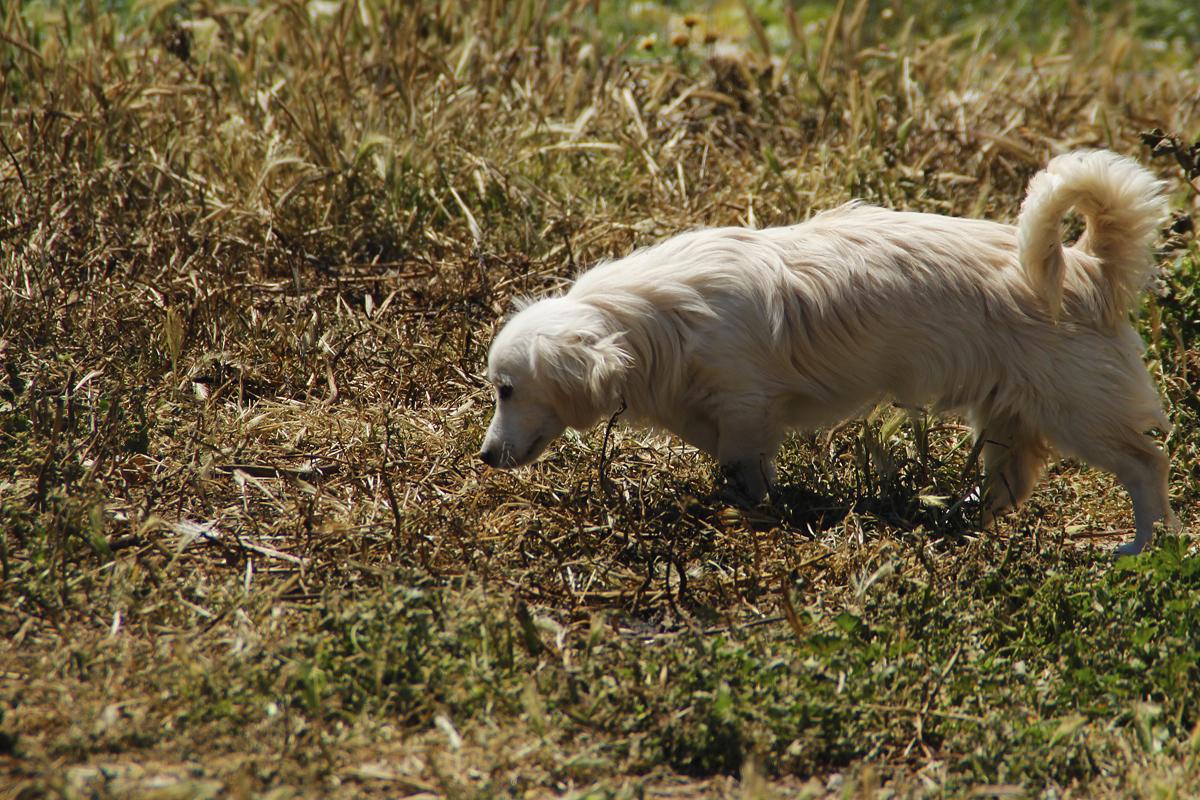 Kokoni Hund auf Wiese