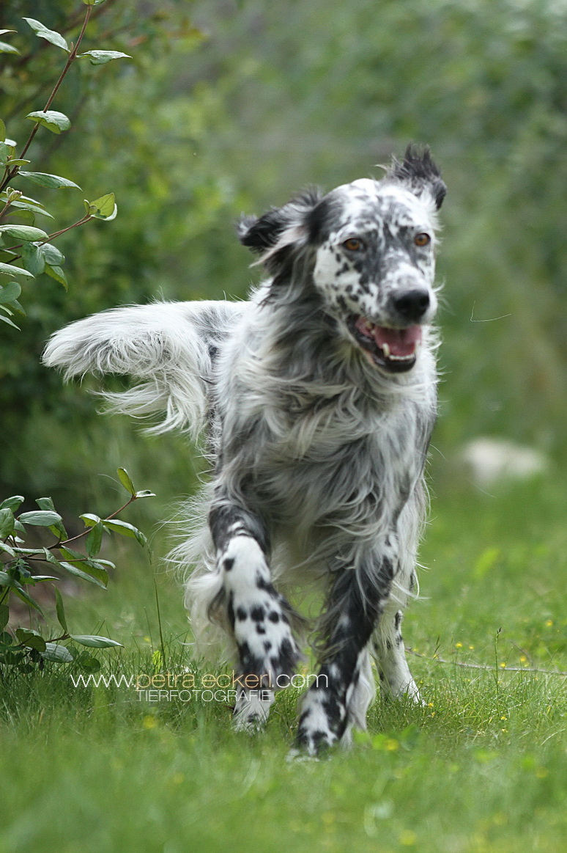 Eleganter Hund läuft auf Wiese