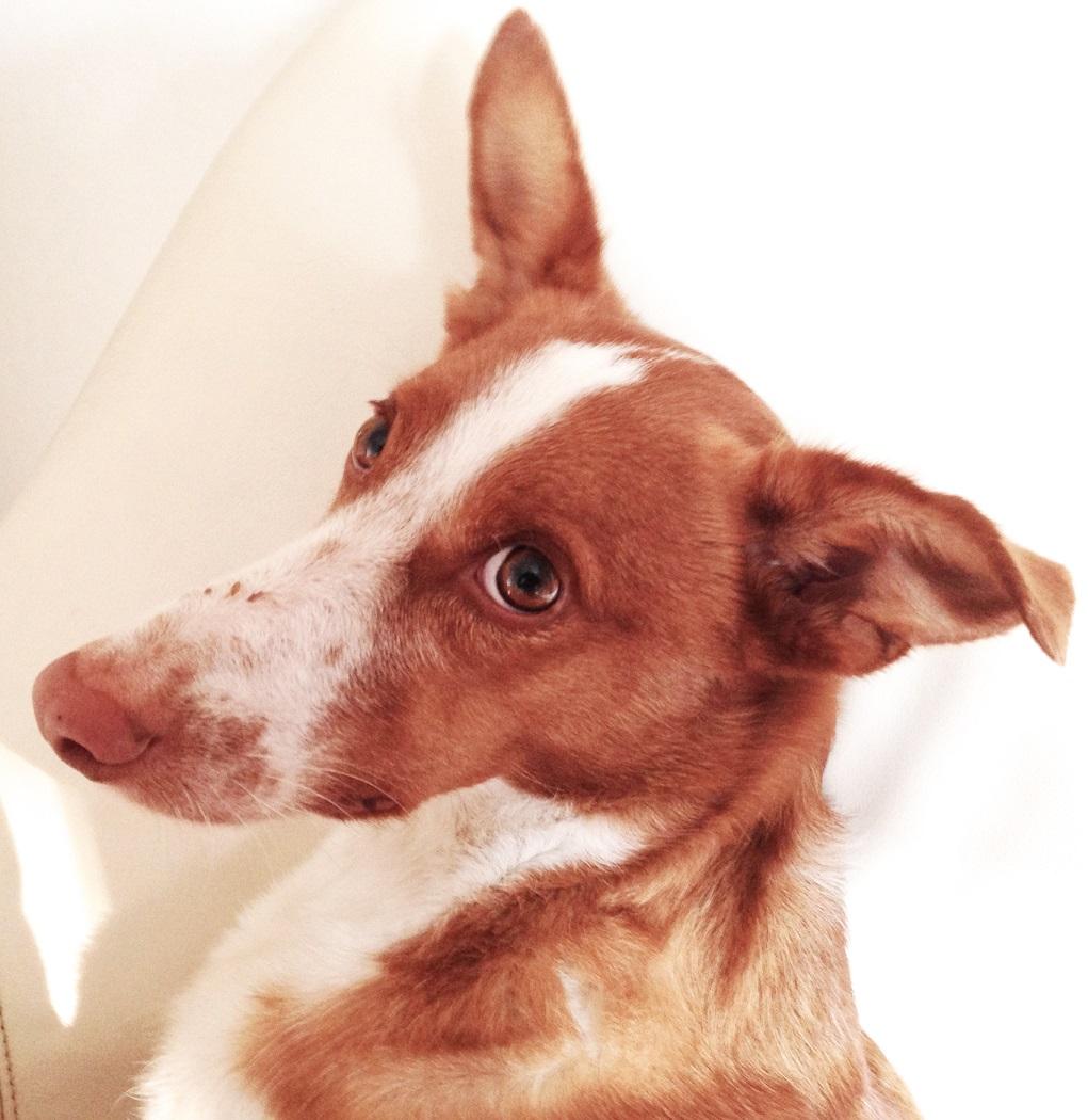 Hund Cody auf dem Sessel
