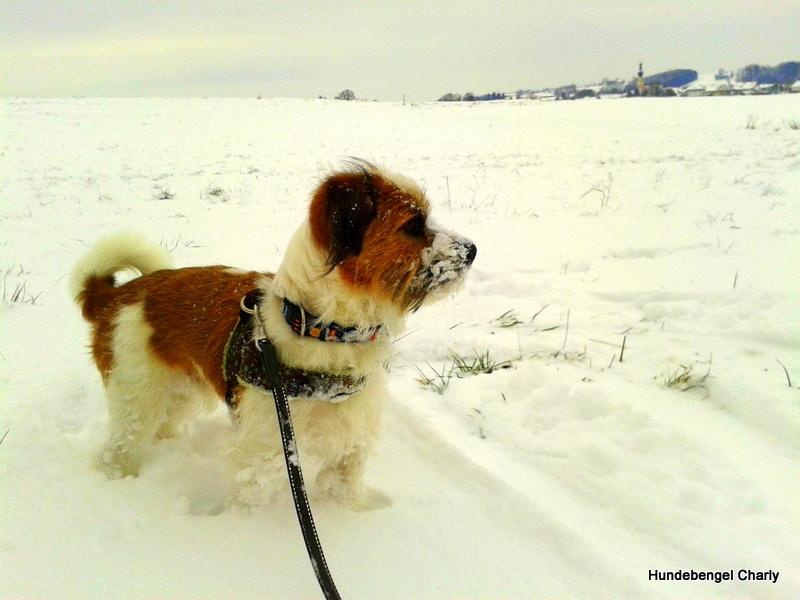 Hündin Charly im Schnee