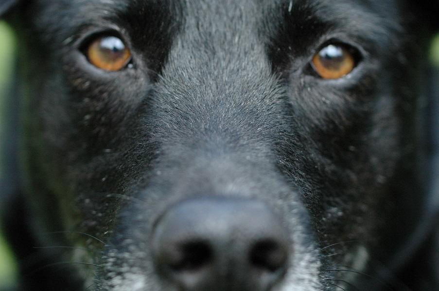 schwarzer Hund CoDo mit intensivem Blick
