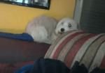 """Wachhund"" Polly"